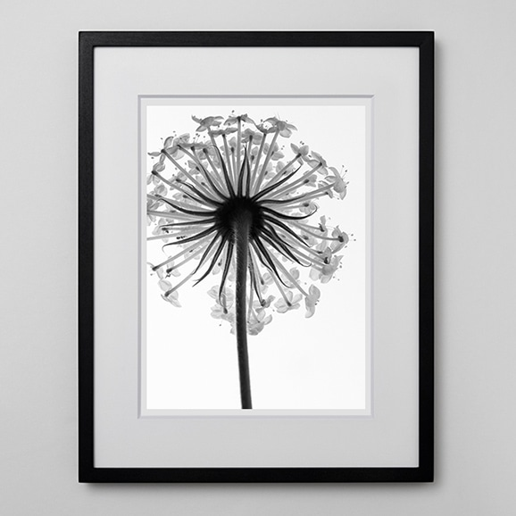 【写真】林雅之 「BW Flower001 Trachymene  caerulea」