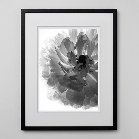 【写真】林雅之 「BW Flower003 Ranunculus asiatics」