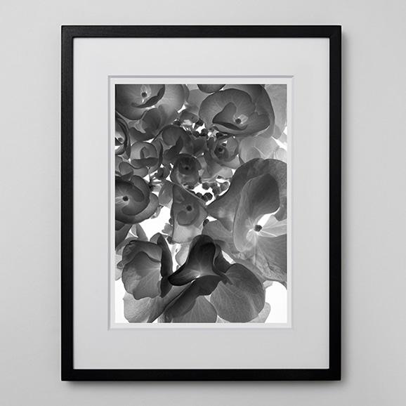 【写真】林雅之 「BW Flower006 Hydrangea macrophylia」