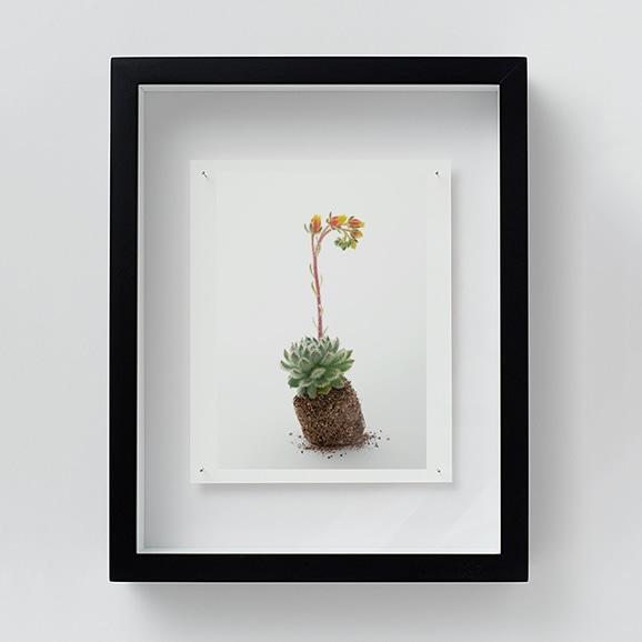 【写真】林雅之 「NT09 Echeveria 'setosa'」