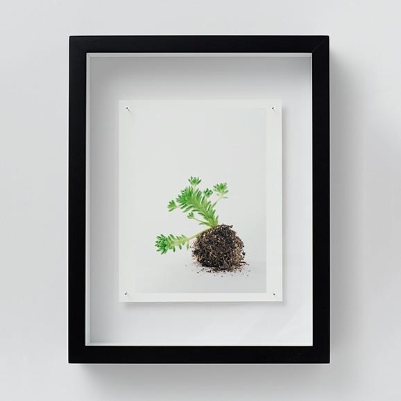 【写真】林雅之 「NT10 Sedum winkrelii」