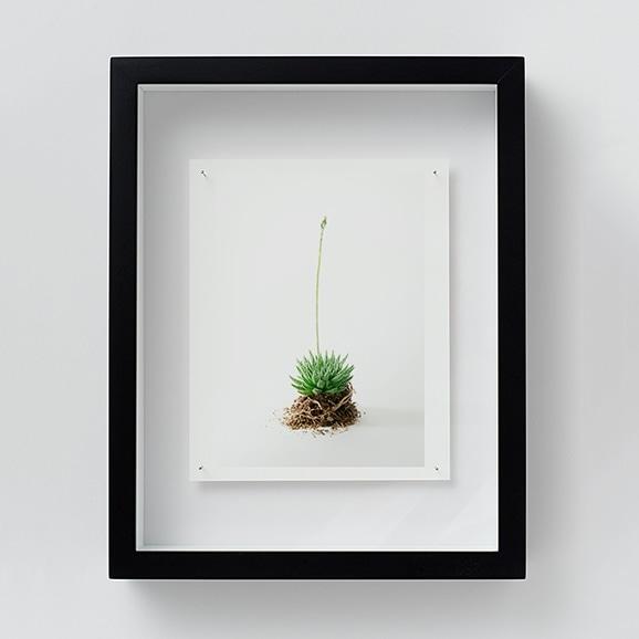 【写真】林雅之 「NT11 Haworthia ruteolosa」