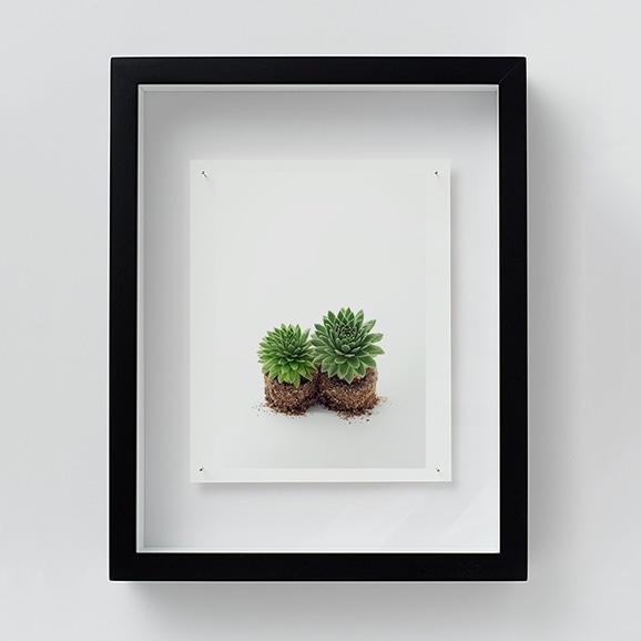 【写真】林雅之 「NT13 Sempervivum 'Gloriosum'」