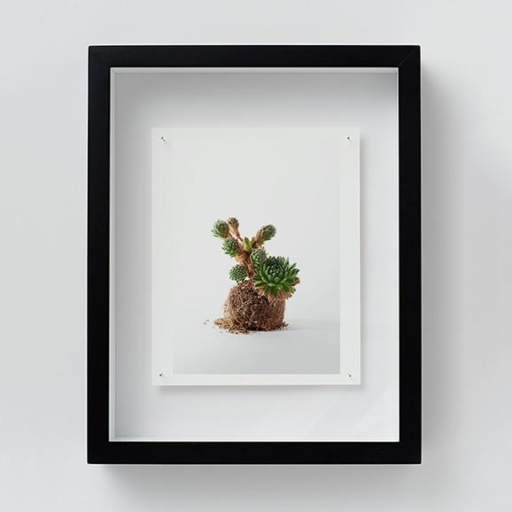 【写真】林雅之 「NT16 Sempervivum 'Frod'」