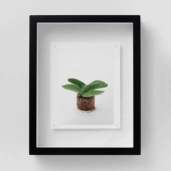 【写真】林雅之 「NT19 Crassula perfoliata var.falcata」