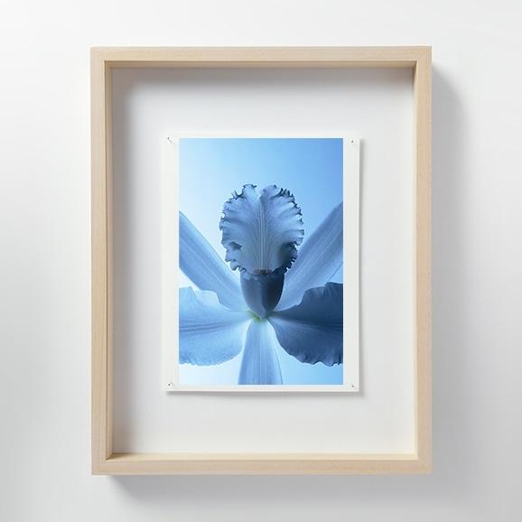 【写真】林雅之 「LF010 Cattleya カトレア」