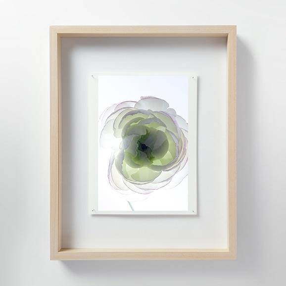 【写真】林雅之 「LF019 Ranunculus ラナンキュラス」