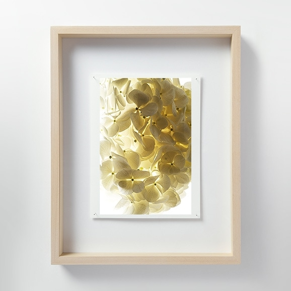 【写真】林雅之 「LF051 Hydrangea アジサイ」