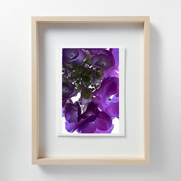 【写真】林雅之 「LF056 Hydrangea アジサイ」