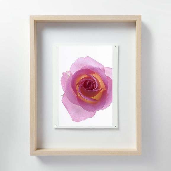 【写真】林雅之 「LF059 Rose バラ」