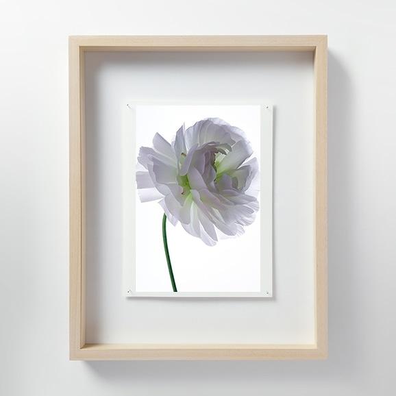 【写真】林雅之 「LF061 Ranunculus ラナンキュラス」