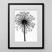 林雅之 「BW Flower001 Trachymene  caerulea」