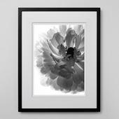 林雅之 「BW Flower003 Ranunculus asiatics」