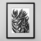 林雅之 「BW Taniku006 Crassula mesembrian brianthoides」