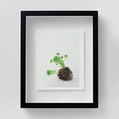 林雅之 「NT10 Sedum winkrelii」