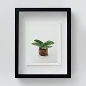 林雅之 「NT19 Crassula perfoliata var.falcata」